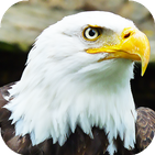 Eagle Wallpapers: backgrounds hd