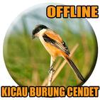 Suara Burung Cendet Betina